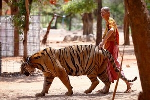 Tiger Buddhist Monk Thailand