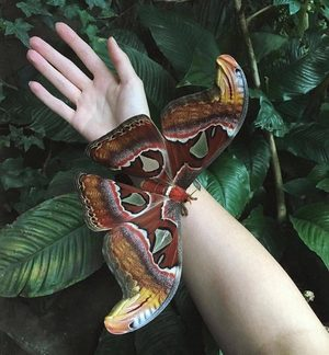 Attacus Atlas